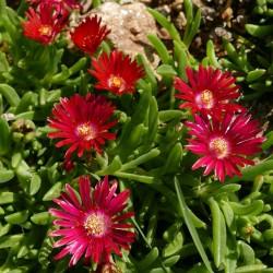 Delosperma ''Roter Graf'', Mittagsblumen im Yuccashop kaufen -