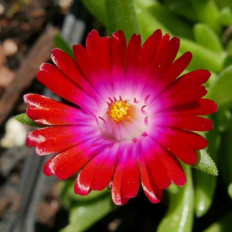 Delosperma ''Magic Magenta'', Mittagsblumen vom Yuccashop -