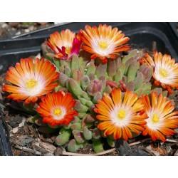 Delosperma ''Kupferstern'', Mittagsblumen im Yuccashop kaufen -