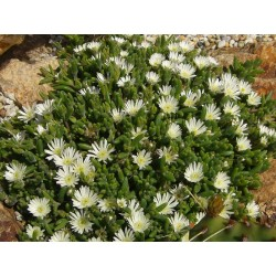 Delosperma karrooicum [Graaff-Reinet], Mittagsblumen vom Yuccashop -