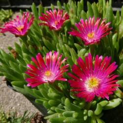 Delosperma ''Karina'', Mittagsblumen im Yuccashop kaufen -