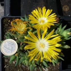 Delosperma congestum 'Annemarie', Mittagsblumen vom Yuccashop -