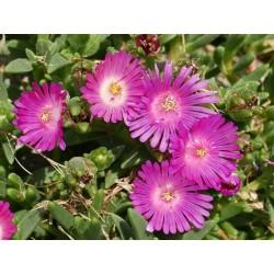 Delosperma ''Purple Fleece'', Mittagsblumen im Yuccashop kaufen -