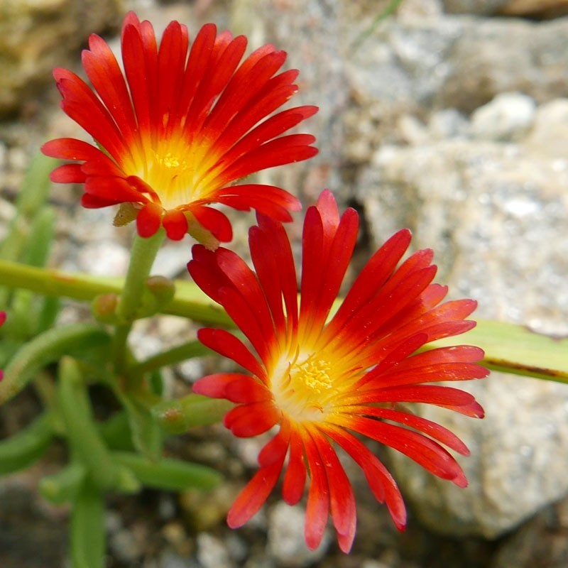 Delosperma ''Burning Hearts'', Mittagsblumen vom Yuccashop -