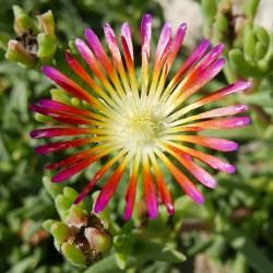 Delosperma ''Big Bang'', Mittagsblumen im Yuccashop kaufen -