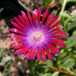 Delosperma ''Bibi's Beste Violett'', Mittagsblumen vom Yuccashop -