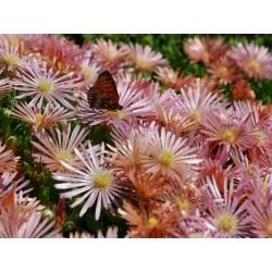 Delosperma 'Kelaidis' ('Mesa Verde'), Mittagsblumen vom Yuccashop -