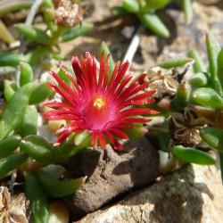 Delosperma 'Badenia Red', Mittagsblumen im Yuccashop kaufen -
