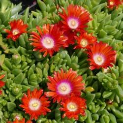 Delosperma ''Alpenglut'', Mittagsblumen im Yuccashop kaufen -