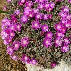 Delosperma aberdeenensis, Mittagsblumen im Yuccashop kaufen -