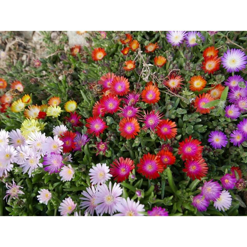 Delosperma-Set ''Bunte Juwelen'', Mittagsblumen, Yuccashop - Symbolbild