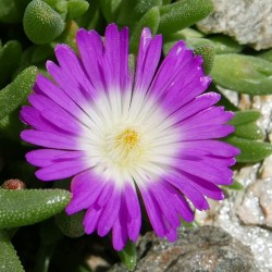 Delosperma ''Wonderful Pink'', Mittagsblumen vom Yuccashop -