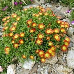 Delosperma ''Wonderful Fire'', Mittagsblumen vom Yuccashop -