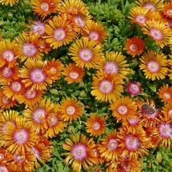 Delosperma ''Twini'', Mittagsblumen vom Yuccashop kaufen -
