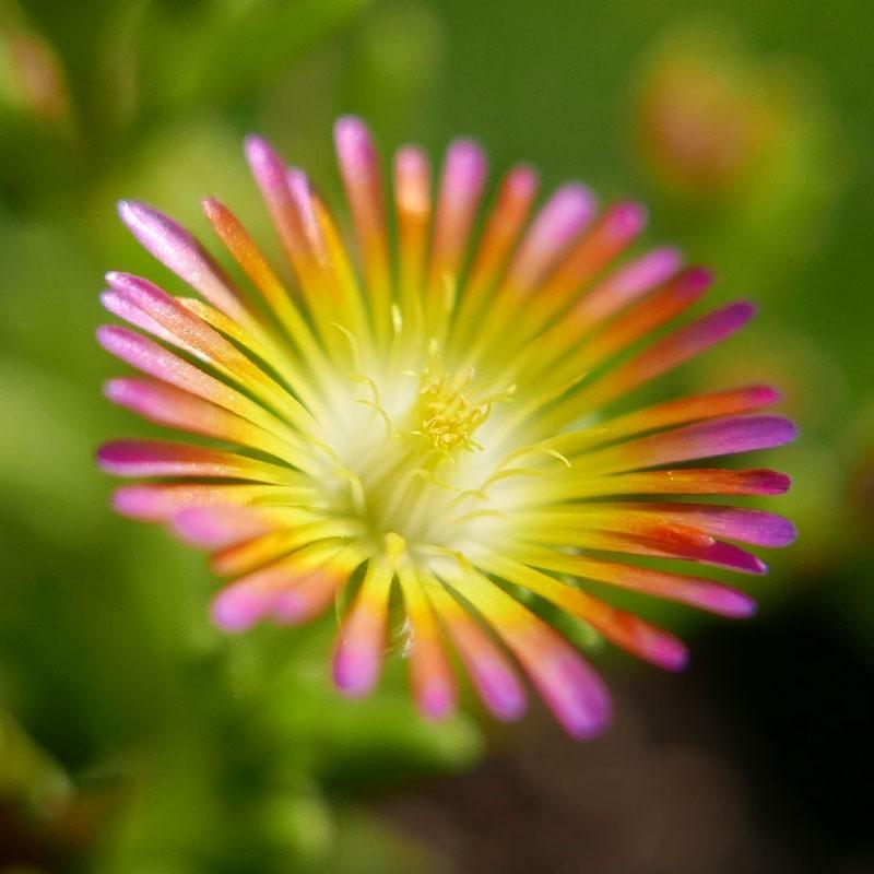 Delosperma ''Vanilla Sky'', Mittagsblumen im Yuccashop kaufen -