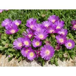Delosperma 'Tombo', Mittagsblume, im Yuccashop kaufen -