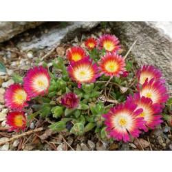 Delosperma 'Ruby', Zwergige Mittagsblume, im Yuccashop -