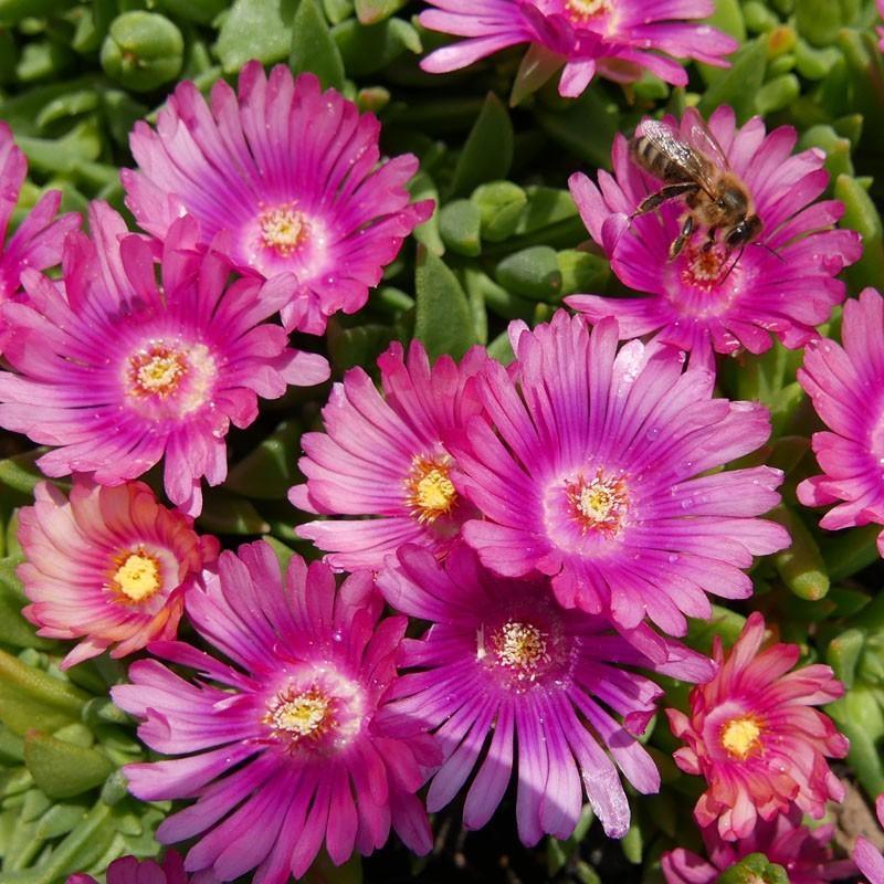 Delosperma ''Pink Sunglasses'', Mittagsblumen vom Yuccashop -