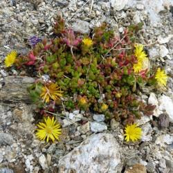 Delosperma nubigenum 'Nanum', Mittagsblumen vom Yuccashop -
