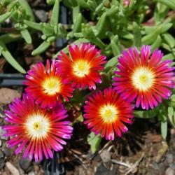 Delosperma ''Hot Love'', Reichblütige Mittagsblumen vom Yuccashop -