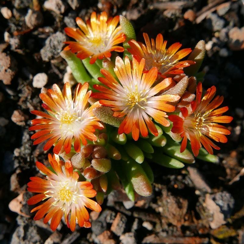 Delosperma ''Lucky'', Zwergige Mittagsblumen vom Yuccashop -