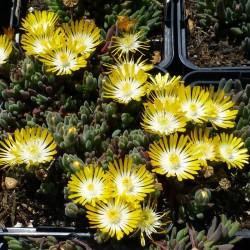 Delosperma ''Little Sunshine'', Zwergige Mittagsblumen vom Yuccashop -