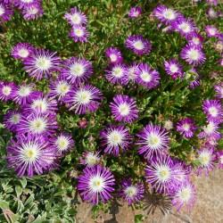 Delosperma floribundum, Reichblütige Mittagsblumen vom Yuccashop -