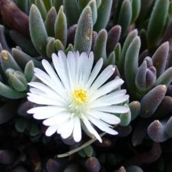 Delosperma ''Ice Drops'', Mittagsblumen im Yuccashop kaufen -