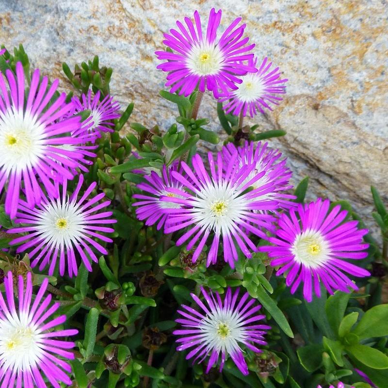 Delosperma ''Florentine'', Reichblütige Mittagsblumen vom Yuccashop -