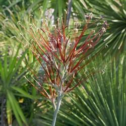 Manfreda elongata, frostharte Zwiebel-Agave vom Yuccashop -