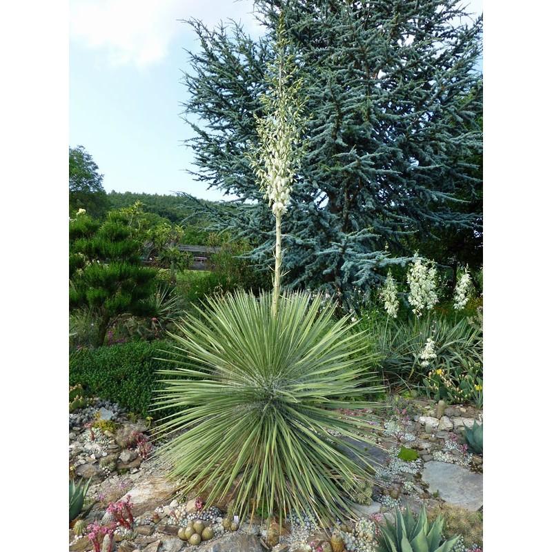 Yucca elata, Wildart, Bleiche Palmlilie im Yuccashop kaufen -