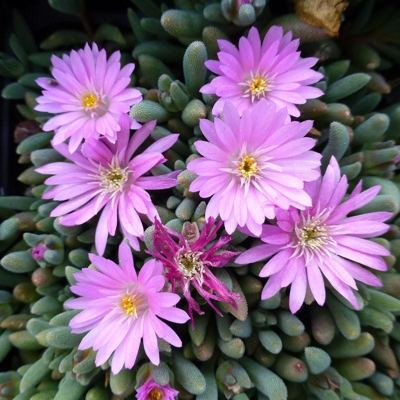 Delosperma Juwelen Rosa, Zwergige Mittagsblumen vom Yuccashop -