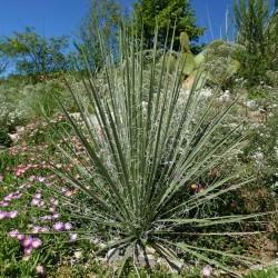 Yucca spec. [Potash Road], Palmlilien vom Yuccashop -