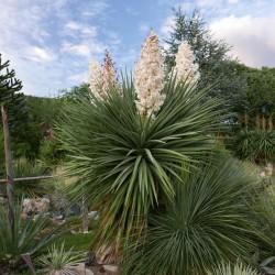 Yucca x schottii, Palmlilien vom Yuccashop -