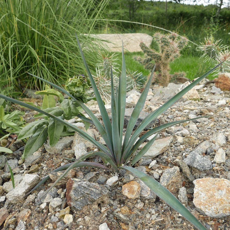 Yucca Hybride GG 123, Pflanzen für besondere Gärten, Yuccashop -