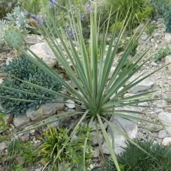 Yucca Hybride GG 072, Pflanzen für besondere Gärten, Yuccashop -