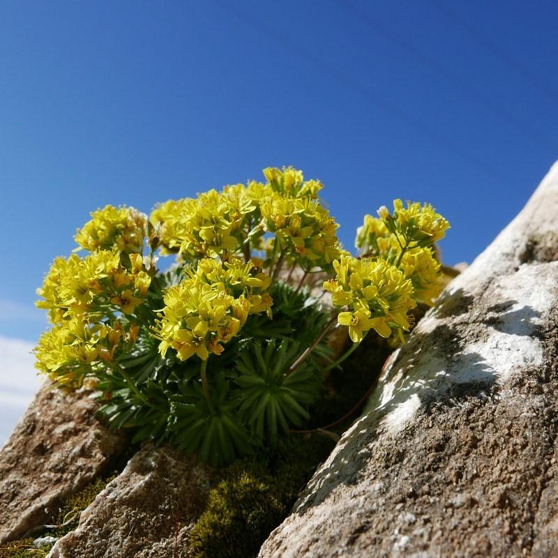 Draba paysonii, Hungerblümchen im Yuccashop kaufen -