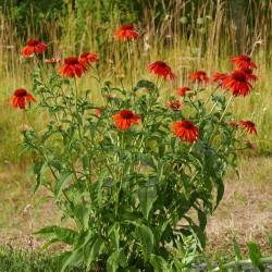 Echinacea ''India'', Oranger Igelkopf, Stauden, vom Yuccashop -