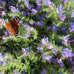Echium vulgare, Gewöhnlicher Natternkopf, Stauden, Yuccashop -