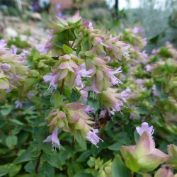 Origanum rotundifolia 'Dingle Fairy', Oregano im Yuccashop -