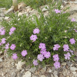 Phlox nana, Santa Fe Phlox, Staude, im Yuccashop kaufen -