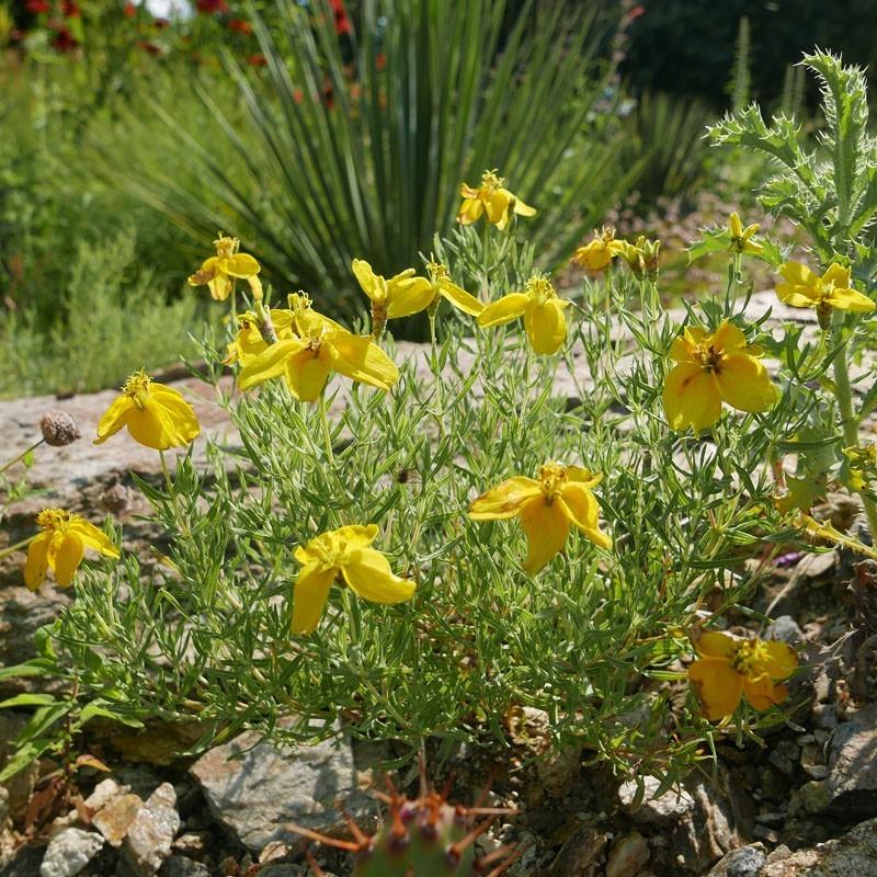Zinnia grandiflora, Goldgelbe Wüstenzinnie, Golden Eye, Yuccashop -