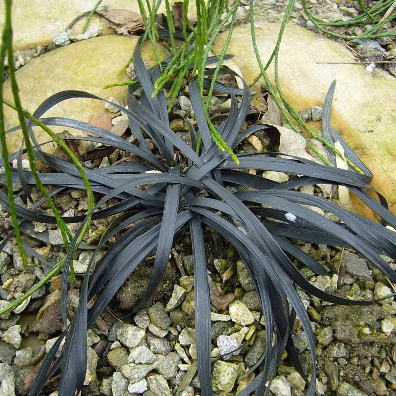 Ophiopogon planiscapus 'Niger', schwarzer Schlangenbart, Yuccashop -