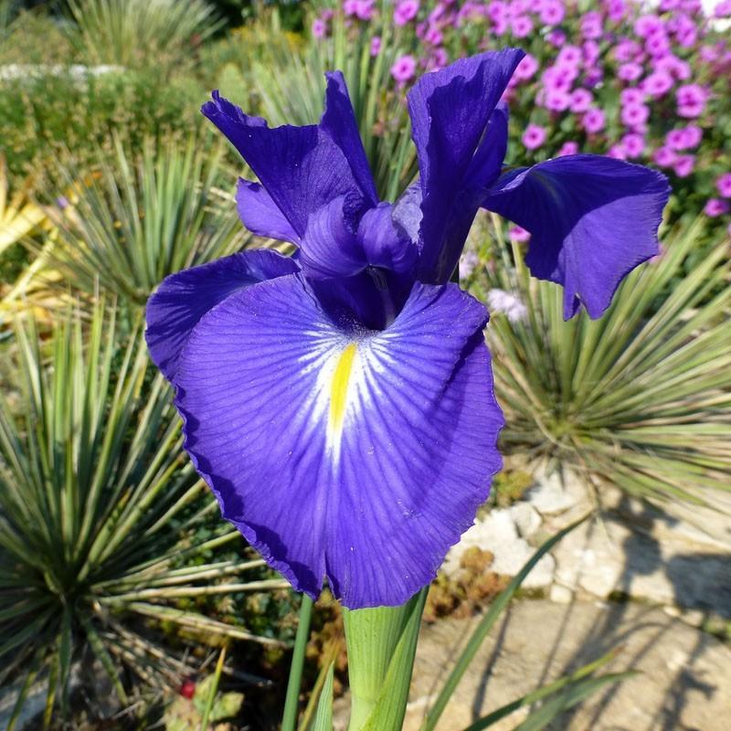 Iris latifolia, Schwertlilien im Yuccashop kaufen -