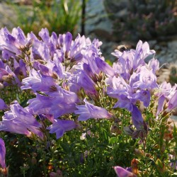 Penstemon fruticosus, Lila Strauch-Bartfaden, Yuccashop -