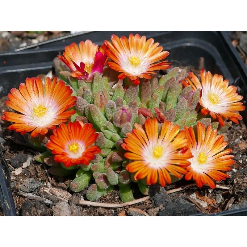 Delosperma Juwelen Orange, Zwergige Mittagsblumen vom Yuccashop -