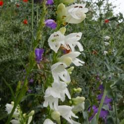 Penstemon virgatus f. albus, Weißer Ruten-Bartfaden, Yuccashop -