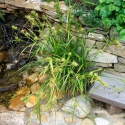 Carex grayi, Morgenstern Segge, Gräser im Yuccashop kaufen -