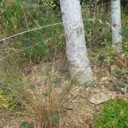 Eragrostis trichodes, Gräser im Yuccashop kaufen -
