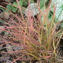 Miscanthus sinensis 'Sioux', Chinaschilf, Gräser, Yuccashop -